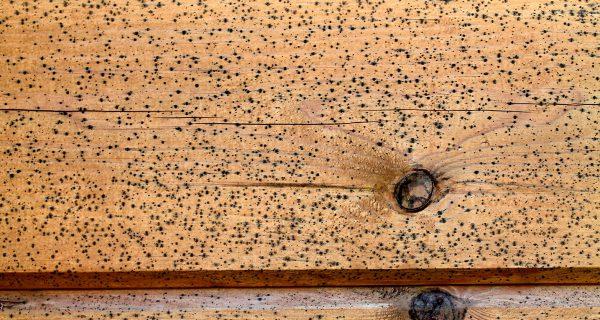 Il est particulièrement difficile d'éliminer les champignons et les moisissures des murs en bois.